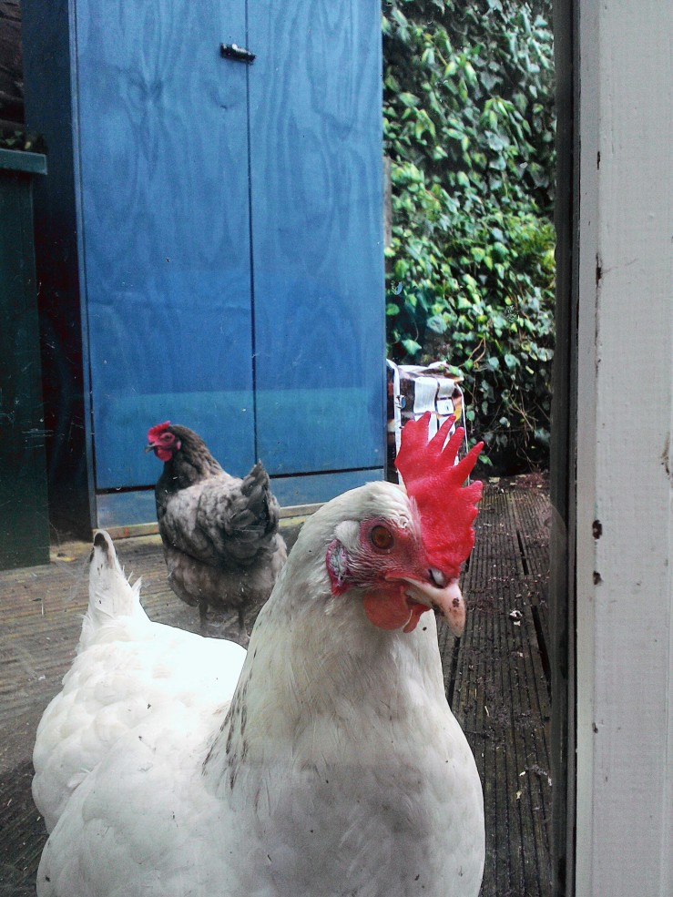 Suzie & Zoe, two of the three Scottish chickens that run around in our garden, in Edinburgh